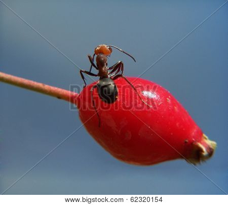 an ant climbing on a rosehip berry