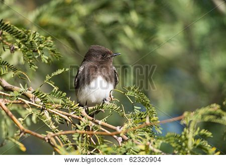 Black Phoebe, Bird