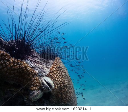 Sea urchins on a coral in tropical sea