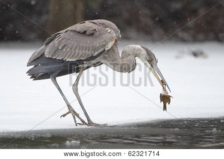 Great Blue Heron Eating a Dead Fish on Partially Frozen River