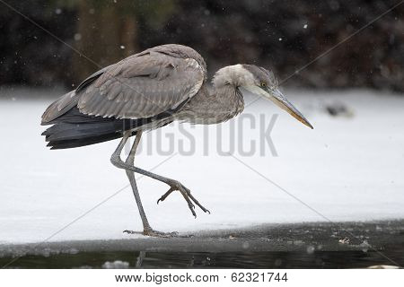 Great Blue Heron Stalking its Prey on Partially Frozen River