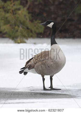 Canada Goose Standing on a Frozen River - Ontario Canada