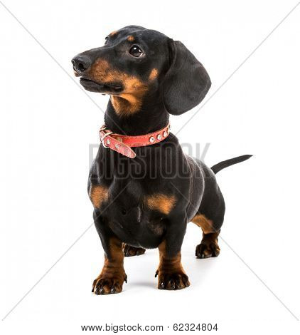 brown short hair puppy dachshund on white