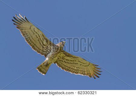 Short-toed Eagle Holding Snake