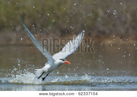 Caspian Tern With Nice Splash Taking To The Air After A Dive