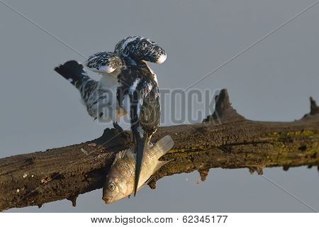 Pied Kingfisher meal