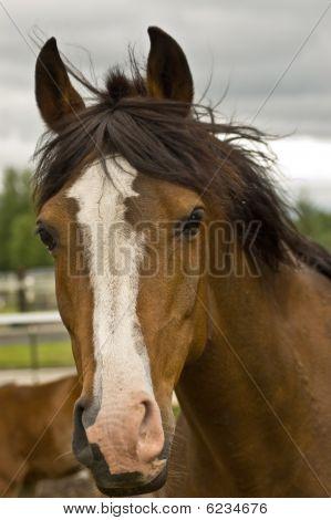 Brown Quarter horse Close Up