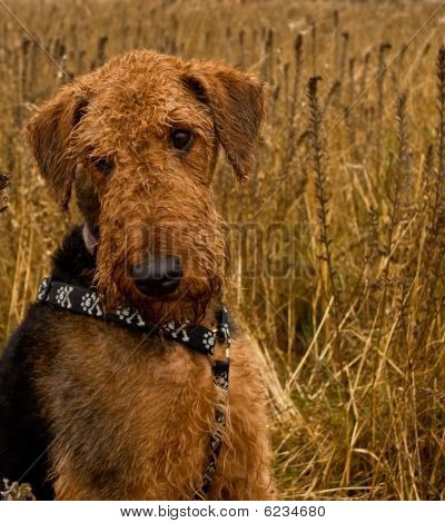 Airedale Terrier Dog Sitting In A Wheat Field