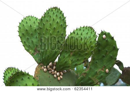 Isolated Prickly Pear Cactus With Snails