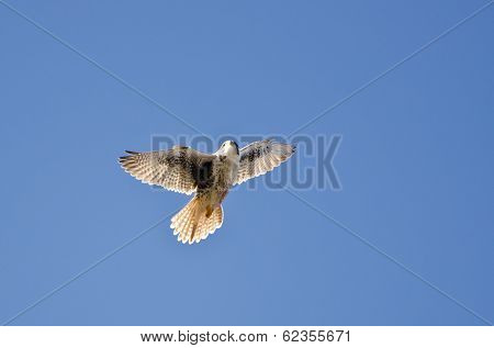 Peregrine Falcon Flying In A Blue Sky