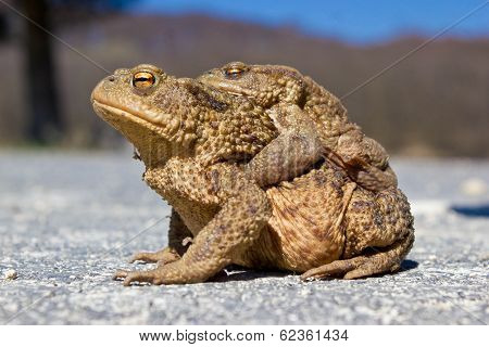 Pair Of Frogs In The Nature