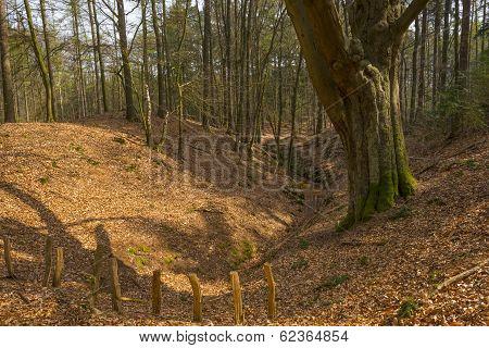 Beech forest in sunlight in spring