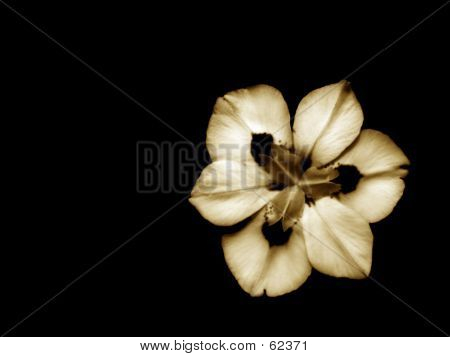 African Iris In Sepia