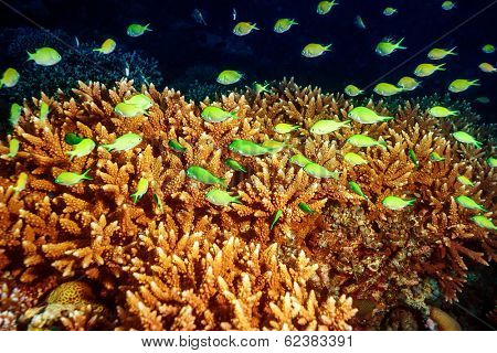 Beautiful marine life, abstract natural background, beauty of Indian ocean, many little green exotic fishes and coral garden under water