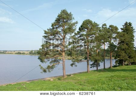 Pines on the shores of Lake