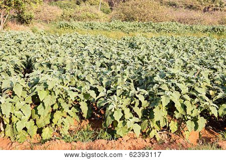 Agriculture farm with uniformly planted brinjal plants on a sunny afternoon