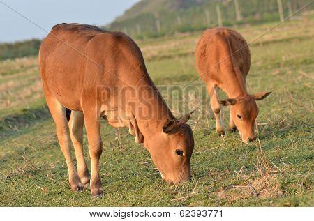 Cattle Grazing on Farmland