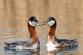 image of grebe  - Red Necked Grebe in its natural habitat