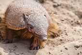 stock photo of armadillo  - Armadillo from Peninsula Valdez in Patagonia - JPG