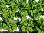 picture of hydroponics  - Hydroponic vegetable  - JPG