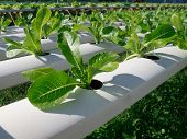 stock photo of hydroponics  - Green cos in hydroponic farm in Thailand - JPG