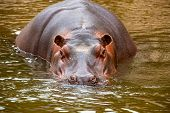 picture of behemoth  - behemoth looking at the camera from the water - JPG