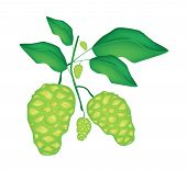 stock photo of mulberry  - Vegetable and Herb Vector Illustration of Fresh Noni Morinda Citrifolia Great Morinda Indian Mulberry Beach Mulberry or Cheese Fruit with Green Leaves on A Branch - JPG