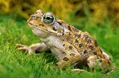 picture of wart  - Closeup portrait of a Toad in grass - JPG