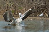 Pink-backed Pelican Making A Lunge For Fish