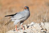 foto of goshawk  - Pale Chanting Goshawk feeding on red sand dune among dry grass in the Kalahari  - JPG