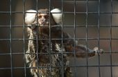 pic of marmosets  - A cute and small common Marmoset Callithrix jacchus on zoo cage - JPG