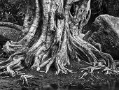 foto of centenarian  - Large tree roots and Largest stones in tropical forest near river - JPG