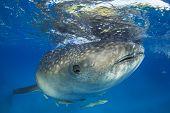 pic of plankton  - Whale Shark - JPG