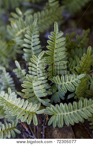 Resurrection Ferns - Polypodium polypodioides