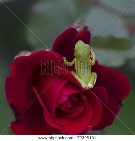 Green Tree Frog and Red Rose