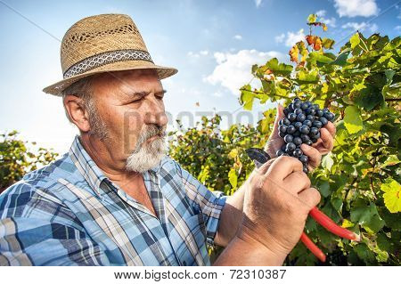 Harvesting Grapes in the Vineyard