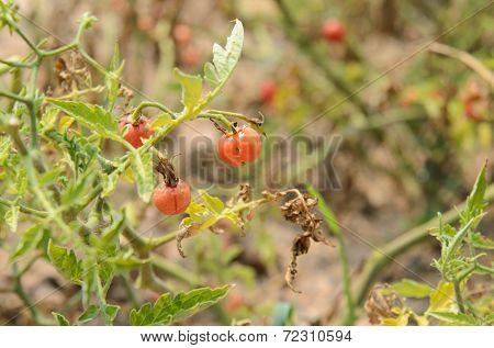 Ripe Tomato On Tree
