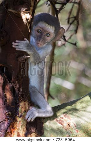 Scares Vervet Monkey Baby Hiding Behind The Trunk Of Tree