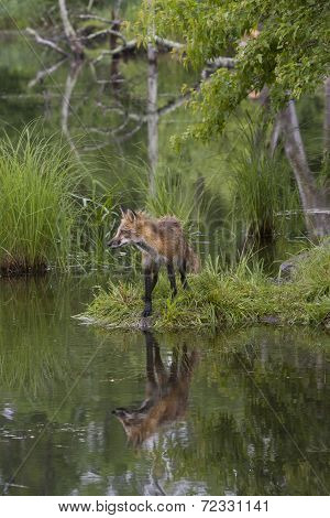 Red Fox Reflection Vertical