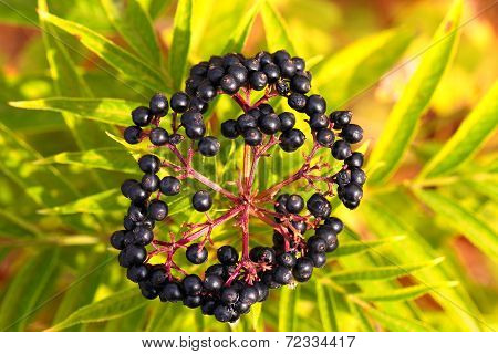 Elderberry, Sambucus Berries