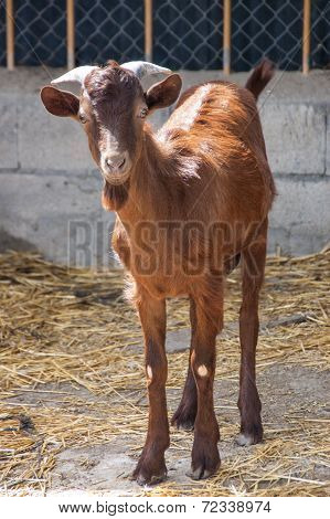 Goat In The Barnyard