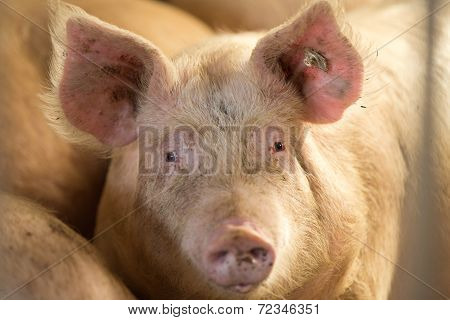 Pig Looking At Camera