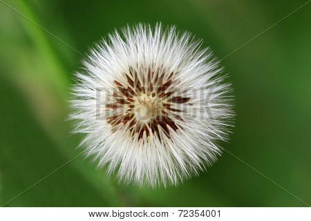 Dandelions of Taraxacum officinale