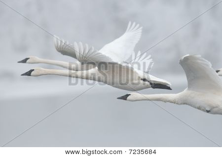 Flock Of Trumpeter Swans (Cygnus buccinator) Fly Past