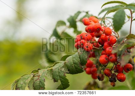 Wild Sorbus Shrub