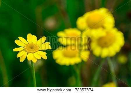 Wild Yellow Flowers Macro