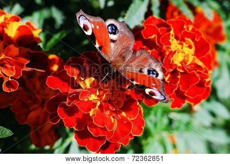 Peacock Butterfly (vanessa Io) On Tagete Flower