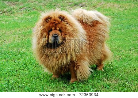 Red Chow Chow Dog On A Green Grass