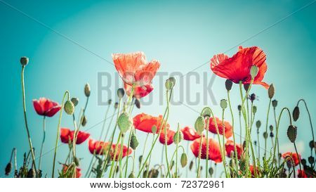 Poppy Flowers On Summer Meadow