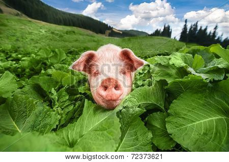 Cute Pig Grazing At Summer Meadow